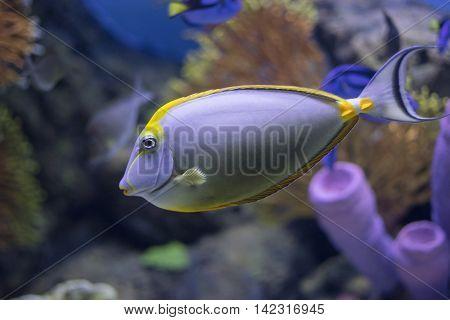 close up a tang fish in Aquarium
