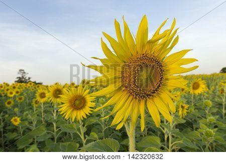 florescent sunflower in sunflower field Lopburi Thailand