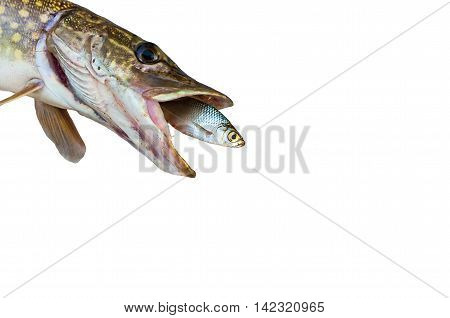 pike caught rudd isolated on a white background