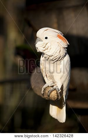 A Moluccan Cockatoo Parrot On A Branch