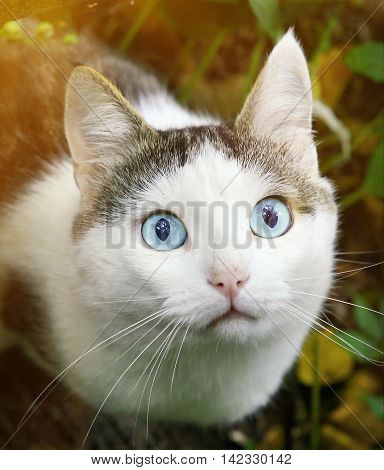 blue eyed cat hunting close up portrait