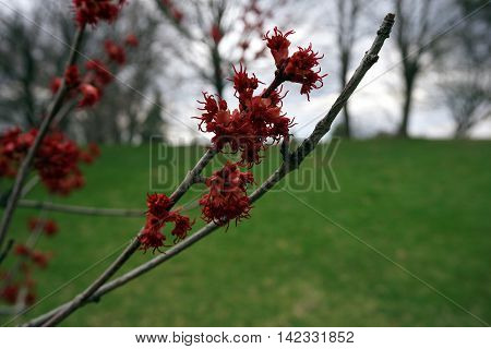 Blossoms of a red maple tree (Acer rubrum) during the spring in Joliet, Illinois.