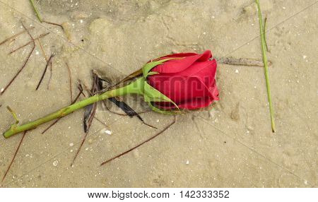 A single red rose washed up on the beach with sea grass in Florida.
