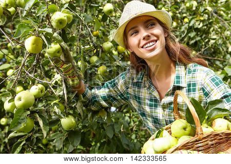 woman picking ripe organic apples in basket in orchard or on farm on a fall day