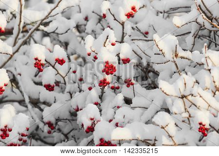 Ripe red rosehips vivid against a blanket of new fallen snow.