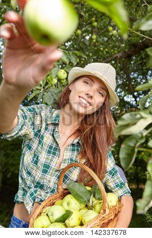 Young woman up on a ladder picking apples from an apple tree on a lovely sunny summer day