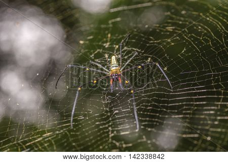 Golden silk orb-weaver spider in the blurry natural background Selective focus.