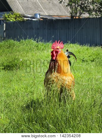 big red cock with a yellow beak and a dark tail standing on green the grass