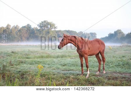 horse on morning misty pasture in summer