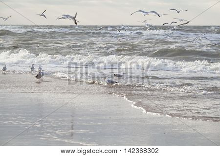 seagull birds on North sea waves at storm