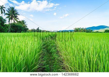 Green Paddy field walk way path under blus sky