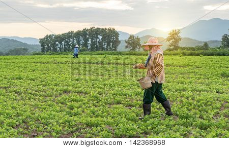 Phayao, Thailand - October 21, 2015: Phayao on October 21, 2015. Farmer is working on a potato field with dramatic sky.