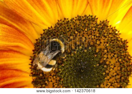 Bumblebee On A Flower Of A Sunflower