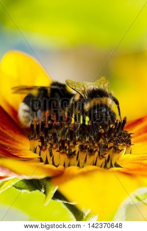 Two Of The Bumblebee On A Flower Of A Sunflower