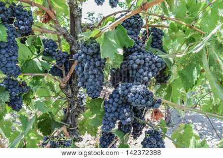Multiple Clusters of Zinfandel Grapes, Hanging from a Vine: close-up shot of Zinfandel Grapes, Leaves, and Vines