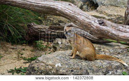 Yellow Mongoose Cynictis Penicillata