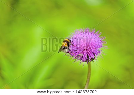 bumblebee and a big beautiful flower. flower pollination