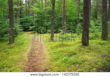 Path in mixed pine and deciduous forest.