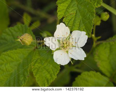 Flower on small bush Blackberry Rubus close-up selective focus shallow DOF