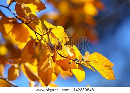 Autumn yellow leaves of poplar against blue sky. Defocused picture