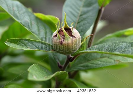 Fruit of the common medlar (Mespilus germanica)