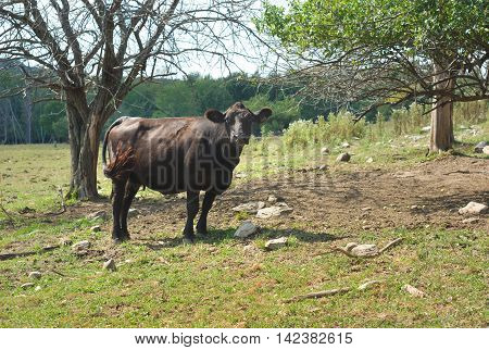 black angus cow in a field with trees