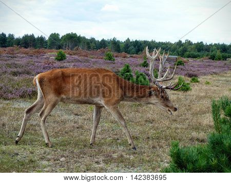 A red deer (Cervus elaphus) crouches in a low position to forage for food