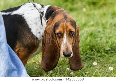 Bassett hound dog with long droppy ears is on a lead and looking behind him.  He is outside on grass.