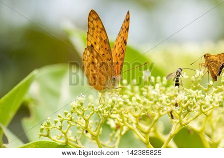 The leopard butterfly (Phalanta Phalanta) is feeding on Bandicoot Berry (Leea indica)