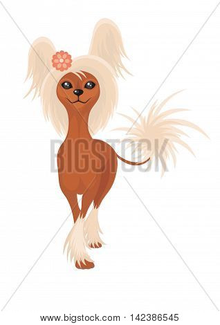 Chinese Crested, Hairless. Small decorative thoroughbred doggie