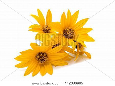 marguerite yellow flowers isolated on white background