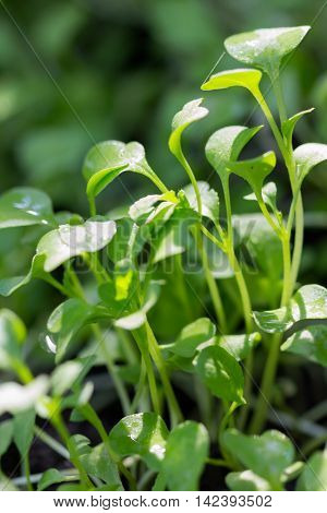 Close up young plant of Chinese cabbage (bog choy) in garden