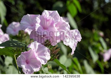 group of morning glory flower blooming in nature