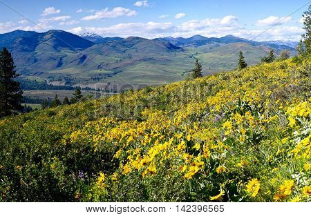 Meadows with yellow flowers and mountains. Balsam Root and Lupines blooming on Patterson Mountain near Winthrop North Cascades National Park Washington State USA.