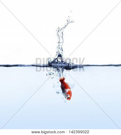 goldfish jumping iin blue water isolated on white background