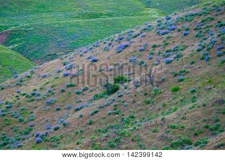 Hills covered with blue lupine wild flowers. North Cascades National Park near Winthrop, WA, USA.