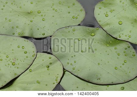 Close up of lilypads in a pond after rain.