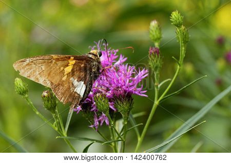 Hesperiid butterfly photographed on purple flower in North Carolina.