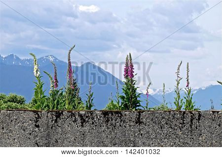 White and purple flowers at concrete wall. Digitalis (Purple Foxgloves) at Simon Fraser University garden British Columbia Canada.