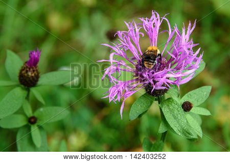 Centaurea Jacea Flower With Bumblebee