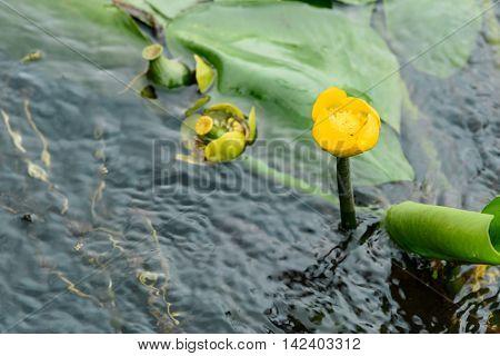 Yellow Nuphar Lutea Flower
