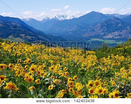 Meadows with sun flowers. Balsam Root and Lupines  on Patterson Mountain near Winthrop North Cascades National Park Washington State USA.