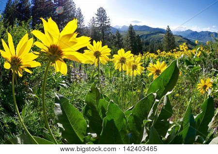 Balsam Root blooming on Patterson Mountain near Winthrop North Cascades National Park Washington State USA.