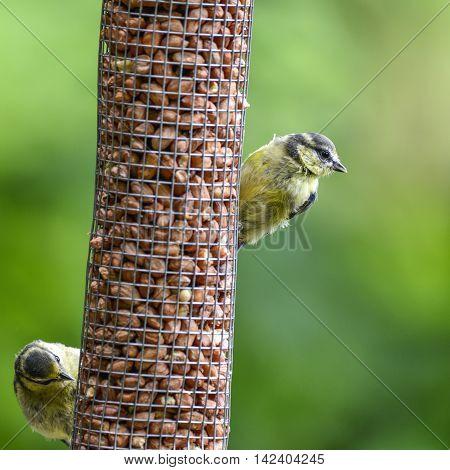 Common Garden Blue Titas Cuanistes Caeruleus On Bird Feeder