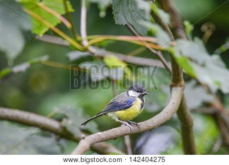 Portrait Of Great Tit Parus Major Bird Sat On Branch In Tree