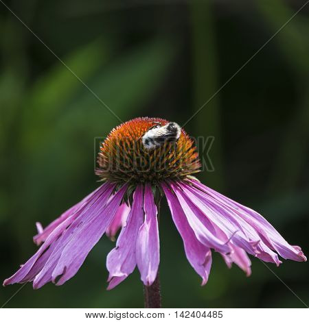 Bumble Bee Pollenating On Echinacea Pallida Cone Flower In Summer