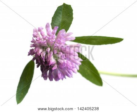 Clover flower over white background close up