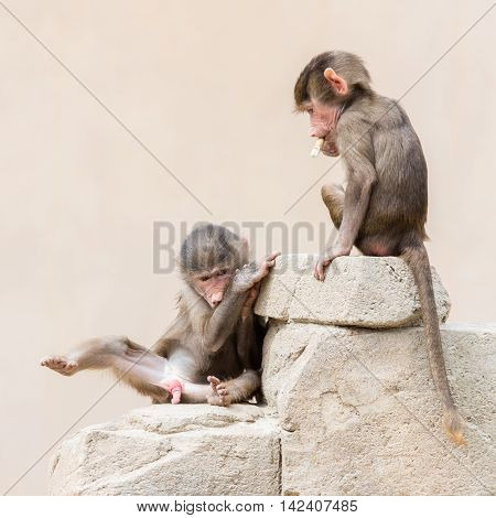 Baby Baboon Learning To Eat Through Play