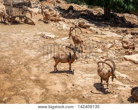 JERUSALEM ISRAEL - MAY 8: Nubian ibexes in Biblical Zoo in Jerusalem Israel on May 8 2016