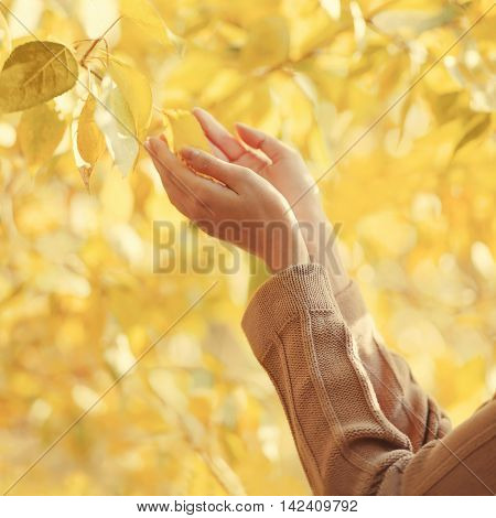 Autumn Photo Sensual Female Hands Gently Touching Yellow Leaves Tree